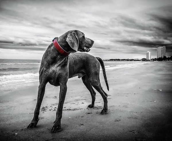Weimeraner: Dog DNA testing